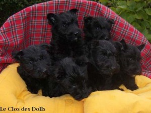 Chiots Scotish terrier